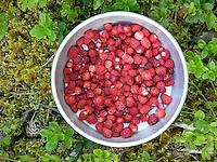 Wald-Erdbeere, Walderdbeere, Erdbeere, Erdbeeren, gesammelt in einem Topf, Fragaria vesca, Wild Strawberry, Fraisier des bois