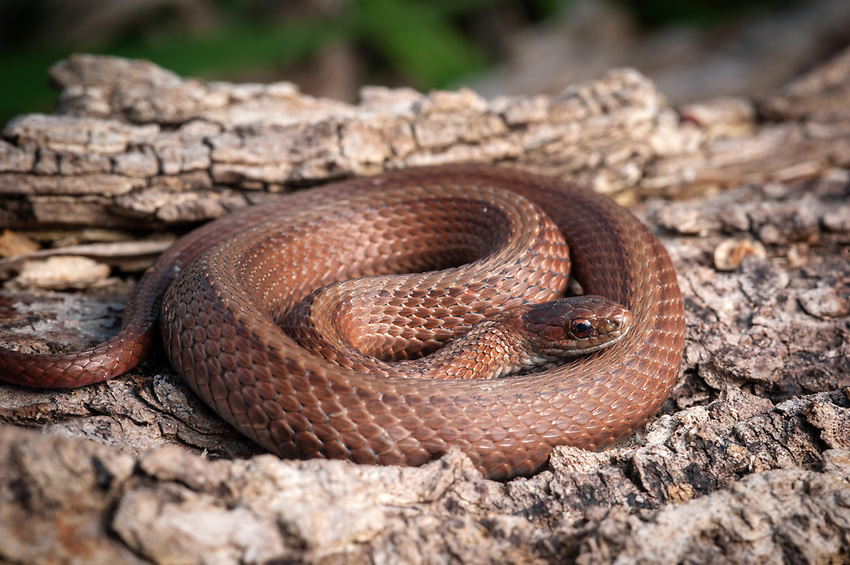Northern Redbelly Snake (Storeria occipitomaculata) in Southern Minnesota. Photo by James R. Evans