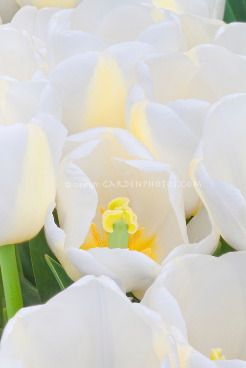 Tulipa 'Angel's Dream' (white tulips) pristine, glowing center spring flowering bulb, looking inside flower