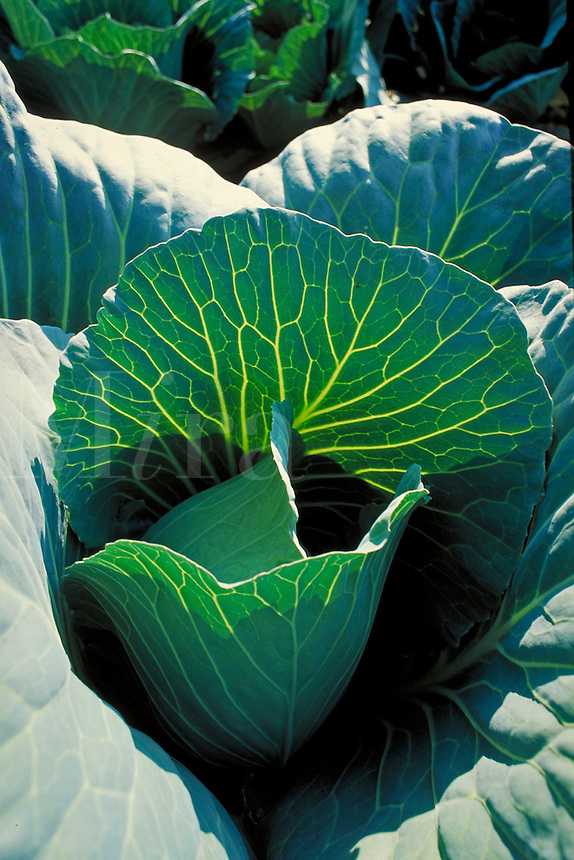 close-up of cabbage plant and leaves back lit by sunshine in field. crop, harvest, food, vegetable, farm, farming, agriculture. North Carolina.