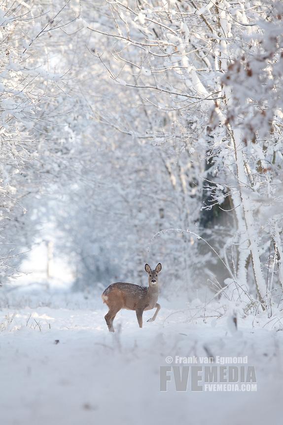 Roe Deer (Capreolus Capreolus) in a forest near Batenburg, The Netherlands.