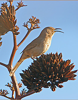 Adult Arizona curve-billed thrasher singing