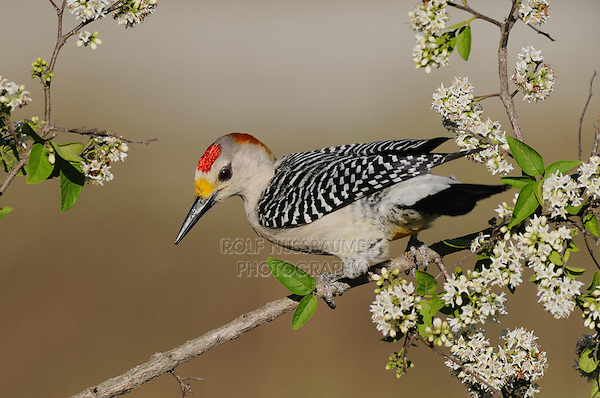 Golden-fronted Woodpecker (Melanerpes aurifrons), male, Sinton, Corpus Christi, Coastal Bend, Texas Coast, USA