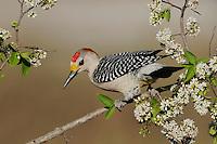 Golden-fronted Woodpecker (Melanerpes aurifrons), male, Sinton, Corpus Christi, Coastal Bend, Texas Coast, USA