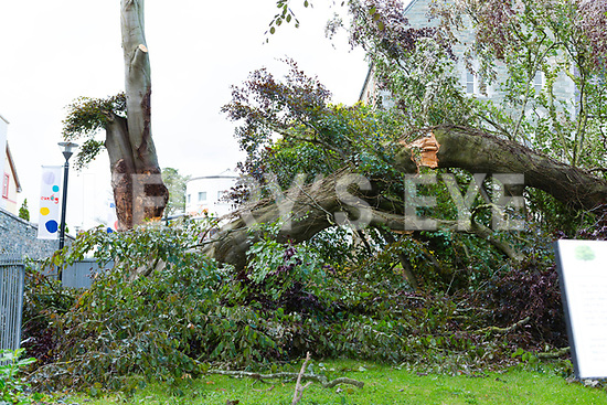 The large tree that fell beside the entrance of the Killarney KDYS outside the Friary