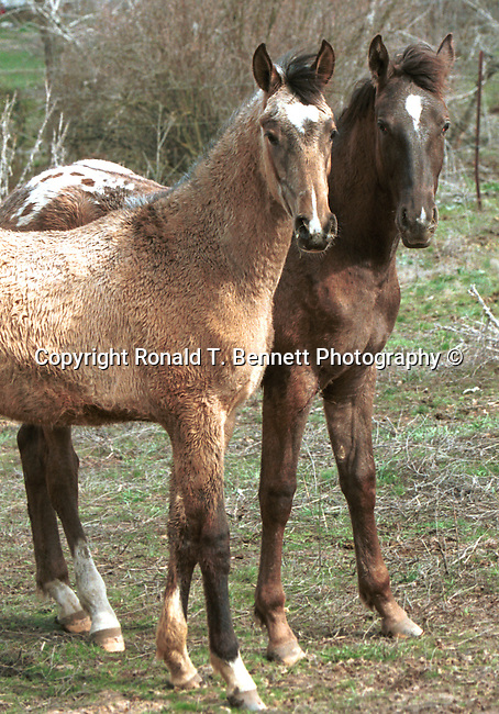 Curious colts, colts, wild horse, Horse, ponies, mares, stallion, saddle, Equus ferus caballus, domestic horse, yearling, colt, filly, gelding, pony, thoroughbred, animal, wild animals, domestic animals,  Fine Art Photography, Ronald T. Bennett (c) Fine Art Photography by Ron Bennett, Fine Art, Fine Art photography, Art Photography, Copyright RonBennettPhotography.com ©