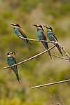 Four Bee Eaters sitting on branch with 3 holding insects in their beaks. Andalucia,Spain