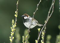 Spanish Sparrow-Male - Passer hispaniolensis