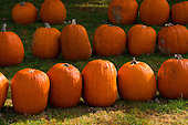Schenectady, NY. Rows of pumpkins at pumpkin farm. ID: AK-ICP. © Ellen B. Senisi