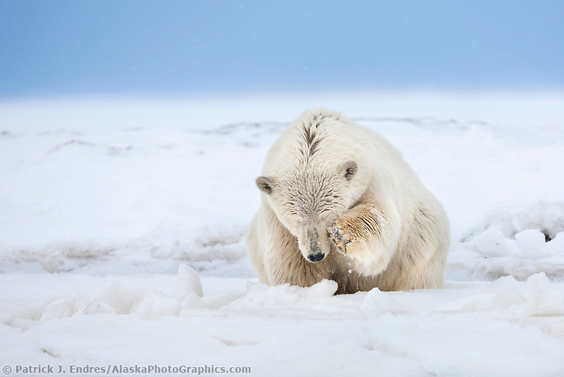 Polar bear scratches its face on a snow covered island in the Beaufort Sea on Alaska's arctic coast.