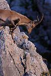 Adult male Spanish Ibex ( capra pyrenaica) leaning over edge of rock face,Sierra Crestallina, Andalucia,Spain.