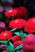 Deep red zinnias #5326.