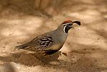 Gambel's quail at the Salton Sea