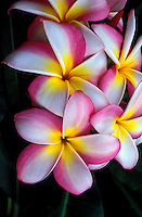 A close-up of five plumeria blossoms (Frangipani apocynaceae) commonly known as candy stripe, have luscious pink and white striped petals with a burst of yellow in the center and are shown against a background of tropical green leaves