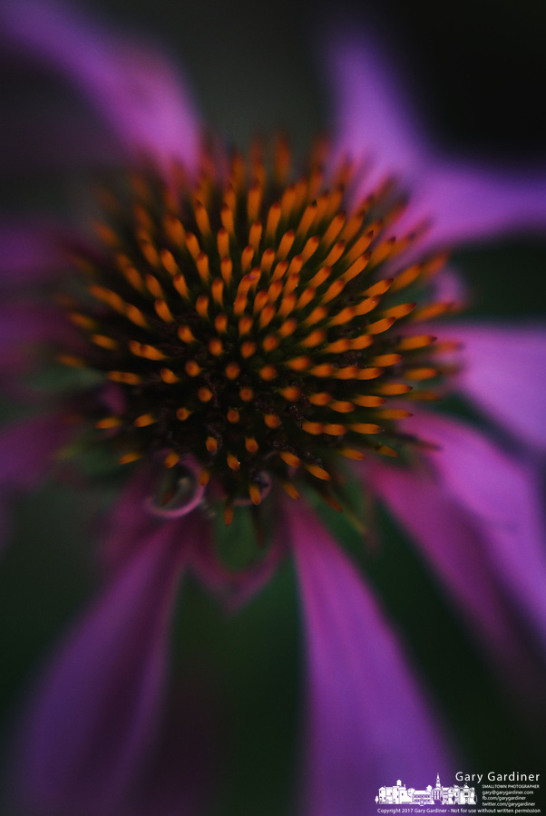 A coneflower blooms in a yard.<br />