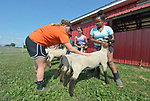 Sara Goitom, a resettled refugee from Eritrea, braces her sheep on a farm in Linville, Virginia, on July 17, 2017, as Holly Mumaw inspects her animal's posture. Mumaw volunteers to help Goitom and other refugee youth, resettled in the area by Church World Service, prepare to show sheep and goats in a county fair.<br /> <br /> Photo by Paul Jeffrey for Church World Service.