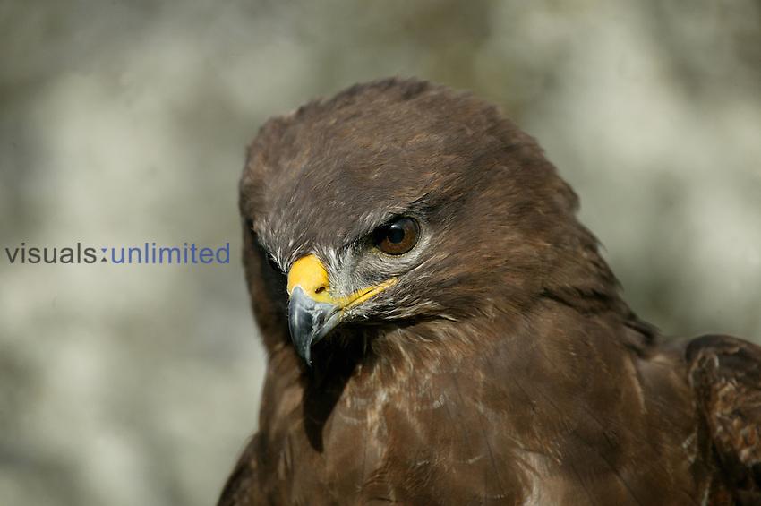 Common Buzzard head (Buteo buteo), France.
