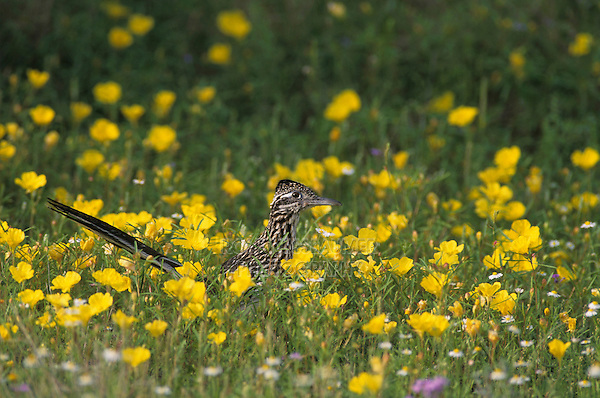 Greater Roadrunner, Geococcyx californianus,adult in wildflowers, Choke Canyon State Park, Texas, USA