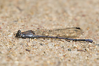 338670005 a wild male tonto dancer argia tontoin garden canyon on fort huachuca army base cochise county arizona united states