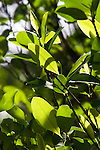 A coca plant is seen during an eradication program at the Antioquia mountains In Colombia so far this year have been eradicated 900 hectares in the country, mainly in rural areas, there are about 2,500 men engaged in this work. According to the Presidential Program for Comprehensive Action against Antipersonnel Mines, between 1990 and January 31, 2012, have been affected by landmines l9.642 people, of these, 674 were injured in eradication. Medellín, July 3 of 2012. Photo by Fredy Amariles/ VIEWpress.