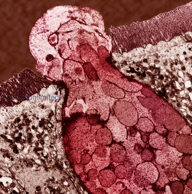 Cross-section of microvilli and a goblet cell in the human digestive tract mucosa. TEM X6000.The job of the goblet cell is to secret mucous. Goblet cells are found in higher numbers in respiratory and intestinal areas. Mucous is secreted by a goblet cell in response to irritating stimuli. Increased numbers of goblet cells are found with certain diseases such as chronic bronchitis and cystic fibrosis.