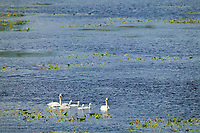 Trumpeter swan family of adults and signets swim in a tundra pond along the Alaska Highway, Alaska