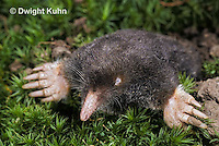 MB25-007a   Hairy-tailed Mole - digging - Parascalops breweri