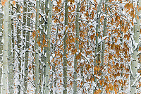 Balsam poplar trees, Wiseman, Alaska