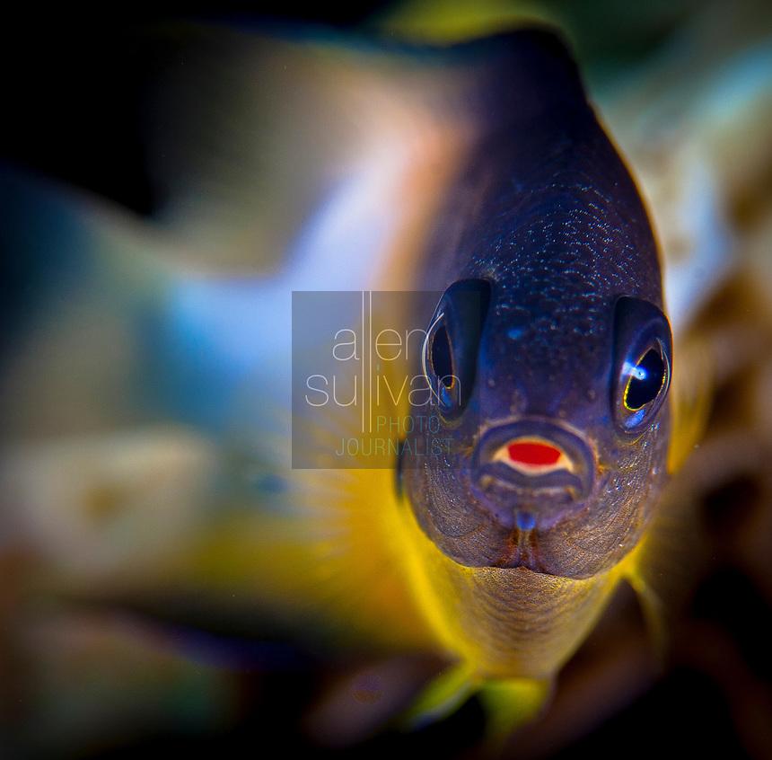 Bicolor damselfish (Stegastes partitus) at Deep Sea Quest scuba dive site; Roatan, Bay Islands, Honduras.<br /> <br /> Higher-resolution file deliverable upon request.