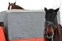 RUMAENIEN, 02.2006, Cirta bei/close to Miercurea-Ciuc. Pferdehaltung auf dem Dorf. Pferde werden bis heute als Nutz- und Zugtiere eingesetzt. Transport zum Schlachthof. | Village horsekeeping. Horses are until today used as productive livestock for work and cart-pulling. Taking the horses to the slaughter house..© Andreea Tanase/EST&OST.