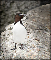 Razorbill, an uncommon Alcid, perched on a rock on Machias Seal Island