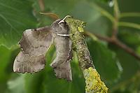 Pappelschwärmer, Pappel-Schwärmer, Laothoe populi, Sphinx populi, Poplar Hawk-moth, Poplar Hawkmoth, Le sphinx du peuplier, Schwärmer, Sphingidae, Hawkmoths, hawk moths, sphinx moths