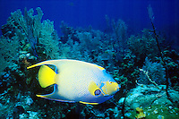 MARINE LIFE: REEFS<br /> Queen Angelfish