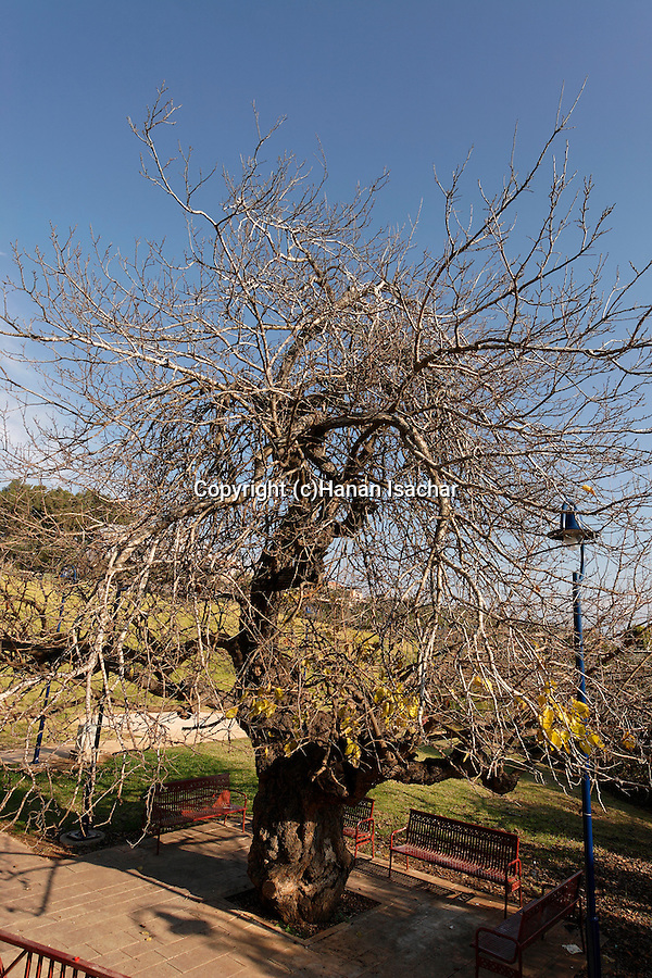 Israel, the Upper Galilee. Mulberry tree (Morus Alba) in Metulla<br />