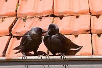 Dohle, auf dem Ziegeldach eines Hauses, Corvus monedula, Jackdaw, Choucas des tours