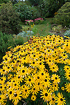 View of black eye susan (Rudbeckia hirta) blossoms at Connie Hansen garden, Lincoln City, Oregon