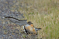 "Killdeer (Charadrius vociferus) acting injured or "" broken wing"" display.  This display is done to draw predators or humans away from nest; bird is not really injured.  Western U.S., spring."