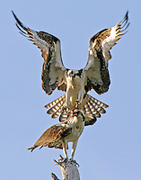 osprey, birds, bird mating, ospreys, florida