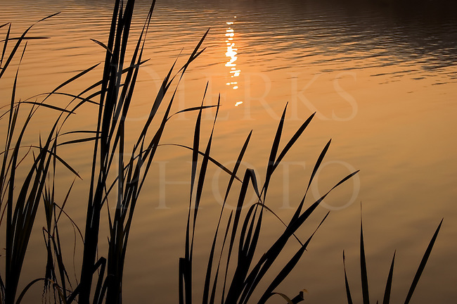 Last light of a golden sunset reflected on a pond with reeds, Canoe Creek State Park, Hollidaysburg, PA.