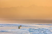 Female polar bear stands on the ice forming along the shore the Beaufort Sea, Romanzof Mountains of the Arctic National Wildlife Refuge, Brooks Range, in the distance, Arctic, Alaska.