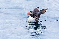 Atlantic puffin, or common puffin, Fratercula arctica, Vaeroya, Norway, Atlantic Ocean
