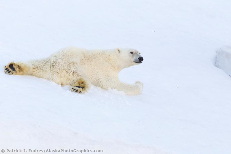 Polar bear on the snow in northern Svalbard.