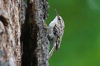 Gartenbaumläufer, Garten-Baumläufer, Baumläufer, Certhia brachydactyla, Short-toed Treecreeper, Short toed Treecreeper, Shorttoed Treecreeper, Tree-creeper