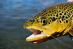 Horizontal handheld brown trout