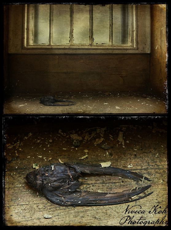 Diptych of dead swallow in abandoned asylum.  Blog post on this photograph: http://www.vivecakohphotography.co.uk/2011/01/fiery-the-angels-fell/