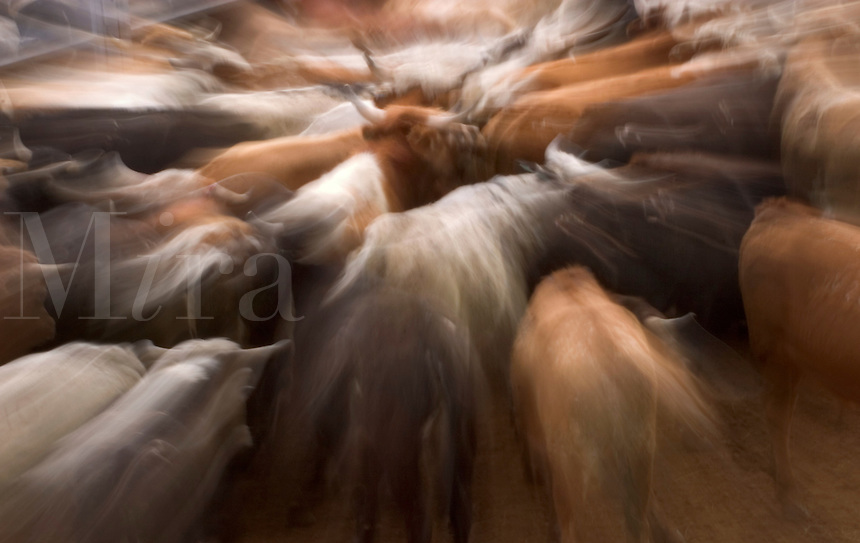 Zoomed exposure of livestock waiting before the Tucson Rodeo competition in Tucson, Arizona.