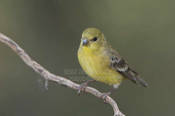 Lesser Goldfinch, Carduelis psaltria, female green-backed, Paradise, Chiricahua Mountains, Arizona, USA, August 2005