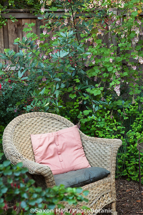 Wicker chair in Southern California within native shrub border of Toyon (Heteromeles arbutifolia) and currant (Ribes sanguineum 'Claremont',) drought tolerant naturalistic garden