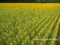 63801-11305 Sunflower field-aerial Jasper Co.  IL