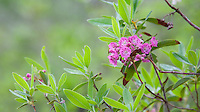 Sheep-Laurel wildflowers, Pinebarrens, New Jersey